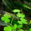 ヤマトヌマエビの繁殖6(孵化から4ヵ月経過)