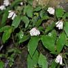 サツマイナモリ  里山のどこに行っても咲いています。