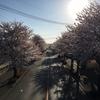 【鹿沼】桜が咲きました