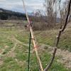 3月19日(金) りんごの枝誘引と紅かぶの花