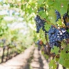 その224 バルベーラは気品に満ちた赤ワイン