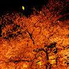 夜桜見物他