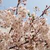 大阪は桜が満開です