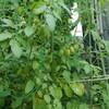 ミニトマト収穫期