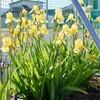 「佐久の季節便り」、アイリス・アヤメ属の花が、見頃に…。