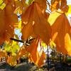 アオギリ黄葉