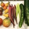 色取り取りの夏野菜の収穫… やっぱり嬉しいですね