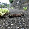 セスジスズメの終齢幼虫