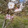 11月4日、桜の花を名栗湖の手前で発見(名栗湖は通行止め)