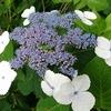 わんこと紫陽花とラーメン