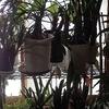 冬越し後の観葉植物 2
