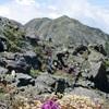 千島列島の名前を持つ高山植物