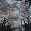 桜めぐり(3) 桜が丘通りと亀田川…