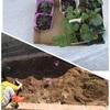 家庭菜園コーナーに苗を植えました