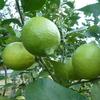 豊穣のレモン