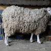 3年生 羊毛刈り体験