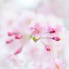 桜 さくら 櫻