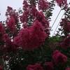 百日紅が咲いています。