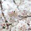 桜の歌と、桜の写真