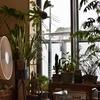 我が家の大切な植物たちが早くも嫁の反感を買っており、ピンチです。