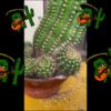 【危険!】サボテンの植え替え