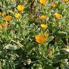 「散歩の途中で見かけた、黄色い花」 - arvensis