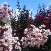 百日紅(さるすべり)の花