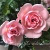 【庭】ミニバラが咲きはじめました☆