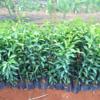 Kĩ thuật trồng ổi xá lị không hạt