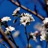 今週の一枚・秋咲く桜