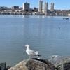 NY散歩☆ハドソン川沿いでゆったりバードウオッチング♫