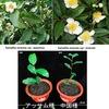 茶5 煎茶も烏龍茶も紅茶もチャノキから.植物種としては一種類ですが,栽培品種は多種多様.大別するとアッサム種と中国種./ 日本における茶の歴史(主に伊藤園のサイトから)