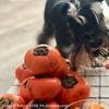 【秋の味覚】一緒に食べられる柿🧡
