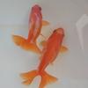 19年導入魚④カラーバス効果。