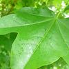 巣もない!花もない!木の実もない!葉っぱだけの木にハチが集まる理由はこれが原因!