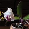 胡蝶蘭咲きました*