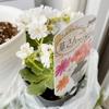 華さんごという花を買った+ベランダ整理+コンテナ