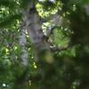 ホトトギスが2羽(大阪城野鳥探鳥 2017/05/27 8:10-13:15)