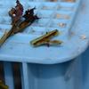 水分も十分なのに萎れるシュートの先端 ネットで調べたらバラクキバチの被害らしい・・・