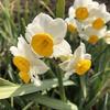 【アラ還さんぽ】立春を過ぎ、UR内で春の花を撮る。