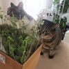 届いたキャットミントと、猫たちの反応。