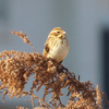鳥撮り多摩川(中野島)でオオジュリン、たぶん。