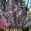 【栃木】藤の花で有名なあしかがフラワーパークにお出かけしました。