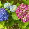 近所の紫陽花のお話。