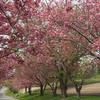 '18 桜 今年の見納め…(石崎地主海神社)
