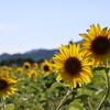 一日一撮 vol.640 中山ひまわり団地1:Catcher in the Sunflower