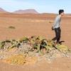 ナミビア でレンタカー旅行 その14 ~スケルトンコースト後編・千年生きるウェルウィッチア~