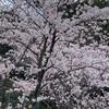 桜ってさぁ...