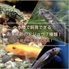 水槽で飼育できるおすすめのドジョウ7種類!外観や特徴も徹底解説!
