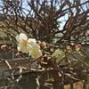 主役の梅の木